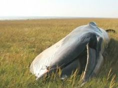 Sei Whale Found in a Field Near the English Coast?? Recently on South Uist, England near Gerinish, a rare sei whale was found laying in the middle of a field. The beach was over 800 yards away! Big question is, How did it get there?