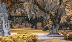 Bayou Country Louisiana Moss Trees Live oaks, of course