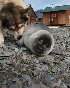 Cute Little Animals, Cute Funny Animals, Funny Dogs, Cute Dogs, Funny Memes, Cute Animal Videos, Pet Birds, Animals Beautiful, Animals And Pets