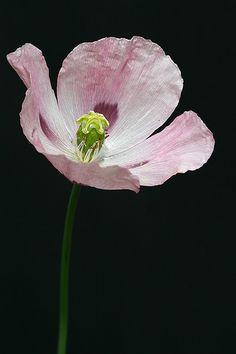 Opium poppy flower (Papaver somniferum L.)