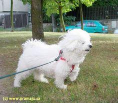 Cindy 8/2012 - Bichon Bolognese / Boloňský psík Bichon Bolognese, Dog Lady, Little Dogs, Animals, Little Puppies, Animales, Animaux, Animal, Animais