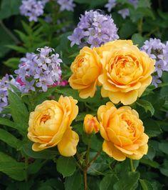 Rose Golden Celebration, Rosa 'Golden Celebration', English Rose 'Golden Celebration', David Austin Roses, English Roses, Yellow roses, shrub roses, Rose Bushes, Garden Roses, very fragrant roses