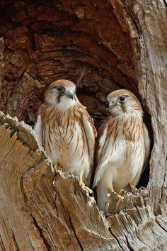 Mated pair Red Shouldered Hawks