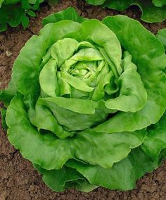 Butterhead Lettuce 'Sylvesta' Butterhead lettuce (Lactuca sativa) 'Sylvesta' is beautiful as well as tasty! A fine lettuce for spring, summer and autumn cultivation. This robust variety is resistant to the lettuce aphid and to most forms of downy mildew.