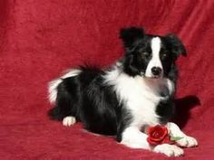 Happy Valentine's Day border collie - Yahoo Image Search Results