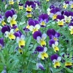 Trei-frati-patati, planta care vindeca toate bolile de piele Tin, Lawn And Garden, Plant, Pewter