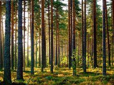 Kaunis mäntymetsä  Lintikonharju Lintharju Suonenjoki Pinus silvestris Finland