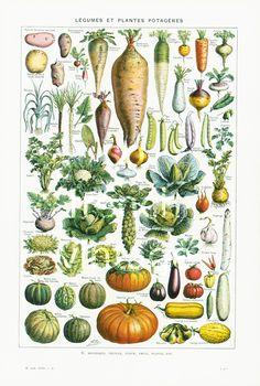 1948 Légumes illustration, Planche Originale Larousse, Plantes Potagères…