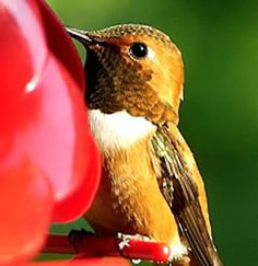 Great Website for gardening with this article on hummingbirds