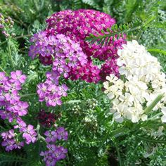 The Yarrow �Summer Pastel�, Achillea sibirica, is an upright wide range of pastel flowers that blooms from June through September. Description from marshalltreesandnursery.com. I searched for this on bing.com/images