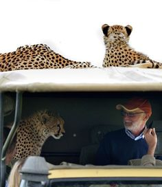 When a Cheetah Jumps Into Your Jeep on a Safari...