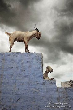 Photo of goats against an incredible stormy sky in southern India; by R. Aaron Raymond