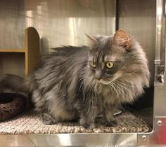 Meet Venus, an adoptable Domestic Long Hair-gray. I need someone to want me because I am special. I need to be fed a wet food only diet. Otherwise, my body can make crystals in my urine, which makes me feel uncomfortable. As long as I am fed a wet food diet, this should not happen.  If you take care of me, I will be a wonderful companion to you! I am very sweet and very beautiful!