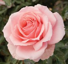 Tournament of Roses | Star® Roses and Plants