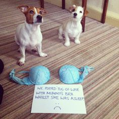 Meet Rupert and Alfie the Jack Russells… 1 year old Rupert and his 4 month old adopted brother Alfie decided to play 'Tug-Of-War' with their Mum's bra whilst she was catchin…