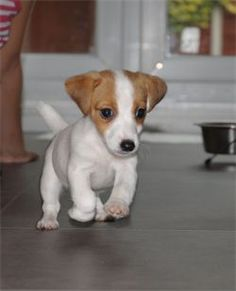 The beginning of a life long friendship of fun, utter devotion and unconditional love. Baby Puppies, Cute Puppies, Cute Dogs, Dogs And Puppies, Maltese Puppies, Doggies, Jack Terrier, Parson Russell Terrier, Terrier Puppies
