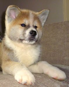 The hubby & I want a Japanese Akita Inu puppy...like asap!