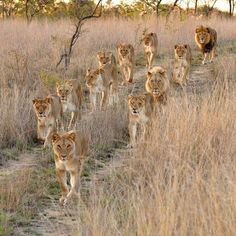 The lion family is on a move, but as you can see the king is behind the group to check for security. Photo via Lion Family, Lion Love, Wild Lion, Lion Pride, Pride Of Lions, Tanzania Safari, Serengeti National Park, Wanderlust, Wildlife Safari