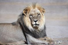DESERT LION Nature and wildlife photography Photographic art