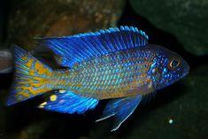 Ngara peacock cichlid