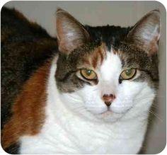 McDonough, GA - Domestic Shorthair. Meet Emma, a cat for adoption. http://www.adoptapet.com/pet/1520697-mcdonough-georgia-cat   Shelter: Henry County Humane Society E-mail: info@henryhumane.com Website: http://www.henryhumane.com Address: 46 Workcamp Road McDonough, GA 30253