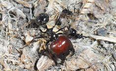 Messor barbarus, hormigas ants, hormiga, ant