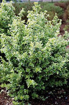 Euonymus fortunei 'Emerald Gaiety' (v) AGM - small, bushy evergreen shrub, but climbing if planted against a wall. Leaves rounded, with an irregular white margin, tinged pink in winter; rarely flowers. 0.5m x 1m