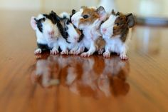 My guinea pig babys....Afew hours old!!!!! #guineapigs