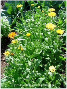 Plant Herbs for Self Sufficiency