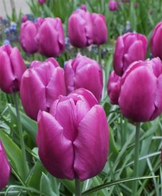 The Tulip Single Finest Mixture - Single Early Tulips - Tulips - Flower Bulb Index