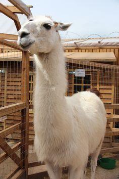 George the Giraffe Llama, what a beauty
