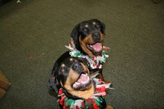 Christmas with the Rottweilers!