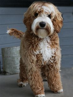 All of our Daisy Hill Australian Labradoodle Puppies are bred for health, sound temperament and an allergy friendliness. Available labradoodle puppies Australian Labradoodle Puppies, Yorkshire Terrier Puppies, Labradoodles, Goldendoodles, Micro Goldendoodle, Cockapoo Dog, Puppies Near Me, Cute Puppies, Dog Cat