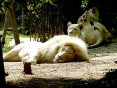White lion Zoo de La Flèche - France .... | by Essential Resinescence