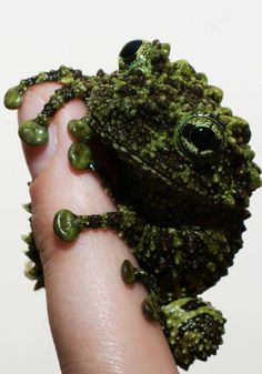 Vietnamese Mossy Frog - does indeed look like a handful of moss - superb camouflage!