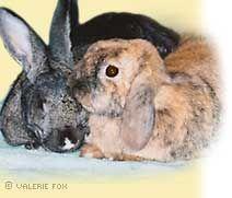 Celebrating Rabbits: Pasteurella: A Ubiquitous Bacteria