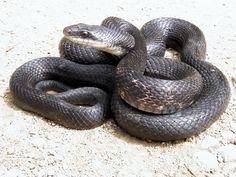 Rat - Black Black Rat, Rat Snake, Rats, Reptiles, Bird, Snakes, Animals, Animaux, Rat