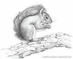 American Red Squirrel Pencil Sketch