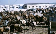 The camel market in Sousse in 1975 Visit South Africa, Tanzania, Camel, Travelling, Pictures, Kenya, Sousse, Photos, Camels