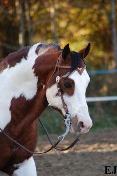 paint quarter horses   Samso Satisfaction paint horse - première fois sellé sanglé