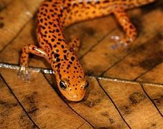 Did you know that the Great Smoky Mountains National Park is home to one of the world's largest salamander populations? Check out this Longtail Salamander in the Great Smoky Mountains