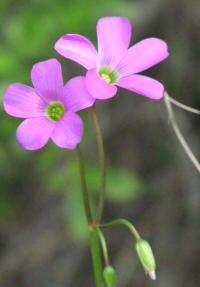 Flores ornamentales: Acederilla de Drummond (Oxalis drummondii)