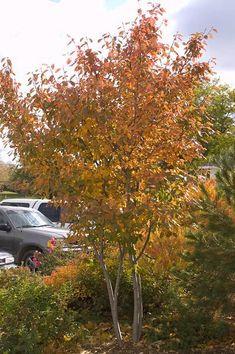 'Autumn Brilliance' Serviceberry (Amelanchier x grandiflora) 14 Favorite Front Yard Trees Deciduous Trees, Trees And Shrubs, Trees To Plant, Fruit Trees, Garden Shrubs, Garden Trees, Backyard Trees, Fence Garden, Backyard Privacy