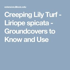 Creeping Lily Turf - Liriope spicata - Groundcovers to Know and Use