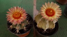 Astrophytum asterias x capricorne Cactus Flower, Flowers, Plants, Capricorn, Plant, Royal Icing Flowers, Flower, Florals, Floral