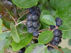 Die Apfelbeeren (Aronia) sind eine Pflanzengattung innerhalb der Familie der Rosengewächse (Rosaceae). Die nur drei Arten stammen ursprünglich aus dem östlichen Nordamerika. Die auf Grund ihrer Apfelfrüchte am häufigsten angebauten beiden Arten sind die Filzige Apfelbeere (Aronia arbutifolia) und die Schwarze Apfelbeere (Aronia melanocarpa).