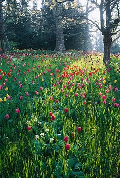 Meadow planting of tulips growing under trees in the palace gardens on Mainau island Lake Constance Germany Garden Landscape Design, Garden Landscaping, Lake Constance Germany, Planting Tulips, Gardens Of The World, Meadow Garden, Palace Garden, Gardening Zones, Gardening Magazines