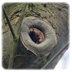 Schlecht abgeschnitten - Todsünden beim Gehölzschnitt --- Bäume und Sträucher benötigen im Garten eine gute Pflege. Hierzu gehört auch der fachgerechte Gehölzschnitt. Auch wenn die Bäume in der Natur ohne Pflege alt werden, geht von schlecht gepflegten Bäumen mit Einmorschungen, Einschnürungen und toten Ästen in der Krone eine Gefahr für Menschen und Gegenstände aus. Mal kurz einen Ast abgefiedelt, weil er im Weg ist, kann in einigen Jahren zum Problem werden.--- Pflanzen und mehr ...