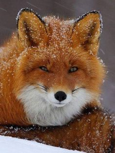 What Does the Fox Say? Snowy Fox by Igor Shpilenok Nature Animals, Animals And Pets, Baby Animals, Cute Animals, Wild Animals, Wildlife Nature, Cute Creatures, Beautiful Creatures, Animals Beautiful