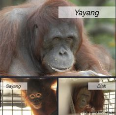 Day 4: Three Orangutans Return to East Kalimantan | Going Back to the Forest Final day of releases.  Please help more orangutans go home: https://secure.thebiggive.org.uk/projects/view/18744/bring-an-orangutan-home-in-2013